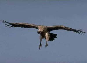 Vulture_cape